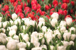 Tulpen in der Blumenhalle