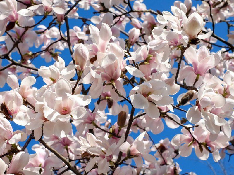 Magnolia am Bodensee